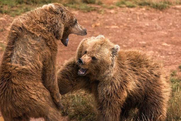 Deux ours bruns se battent dans une réserve naturelle