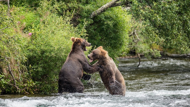 Deux ours bruns se battent pour une place sur la rivière pour la pêche