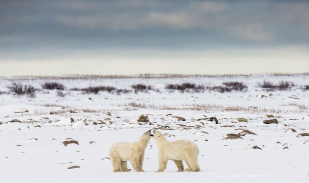 Deux ours polaires jouent l'un avec l'autre dans la toundra. canada.