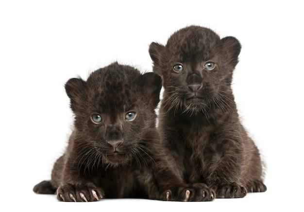 Deux oursons léopard noir couché isolé pentecôte