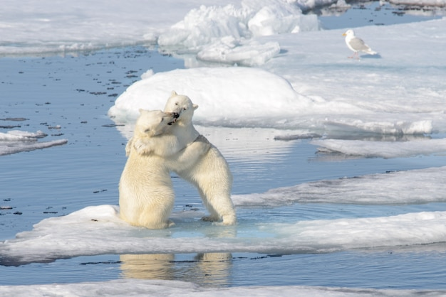 Deux oursons polaires jouant ensemble sur la glace