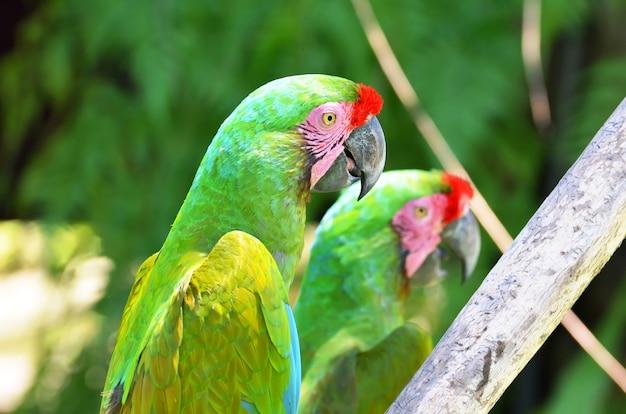 Deux perroquets verts chez les oiseaux de la forêt tropicale.
