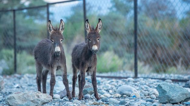 Deux petits ânes mignons au paysage de la vallée de la nubra, leh, district de ladakh, en inde.