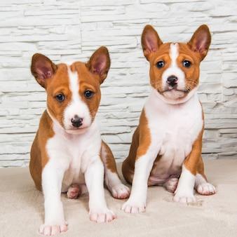 Deux petits bébés drôles chiots basenji chiens sur fond de mur blanc