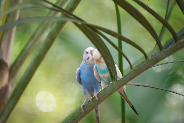 Deux petits budgies s'embrassant sur une branche d'arbre