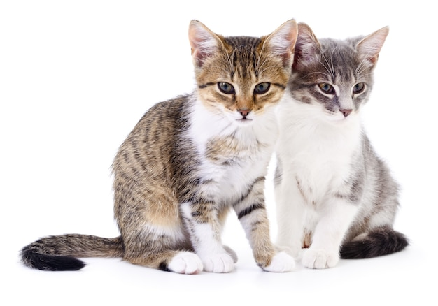 Deux petits chatons sur un blanc