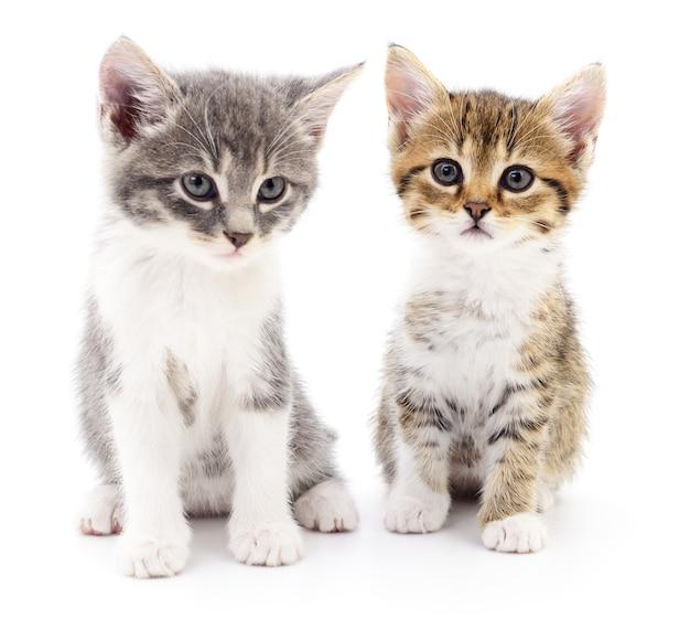 Deux petits chatons sur fond blanc.