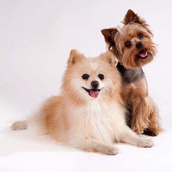 Deux petits chiens sur un blanc. yorkshire terrier et spitz.