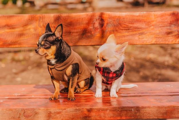 Deux petits chiens chihuahua sur banc. animaux domestiques mignons à l'extérieur. deux chiens chihuahua sur un banc de vêtements.