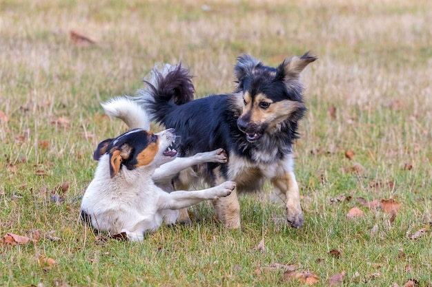 Deux petits chiens jouent sur l'herbe à l'automne