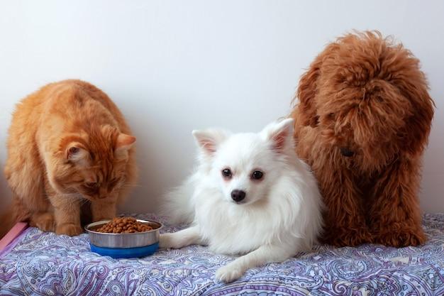 Deux petits chiens, un poméranien blanc et un caniche miniature brun rouge, sont allongés sur une litière, un chat roux est assis à côté d'un bol de nourriture et mange.