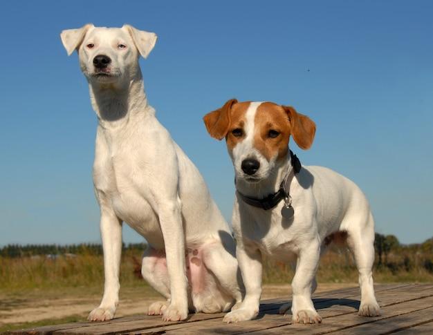 Deux petits chiens