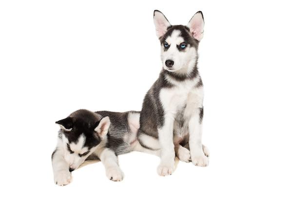 Deux petits chiots mignons de chien husky sibérien aux yeux bleus isolés. beaux chiots