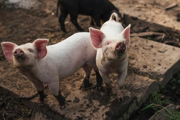 Deux petits cochons mignons