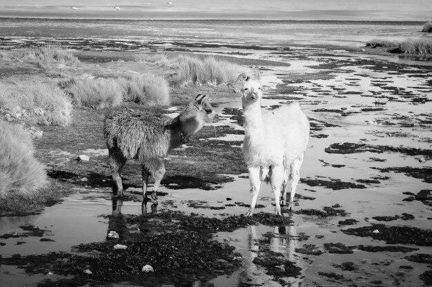 Deux petits lamas