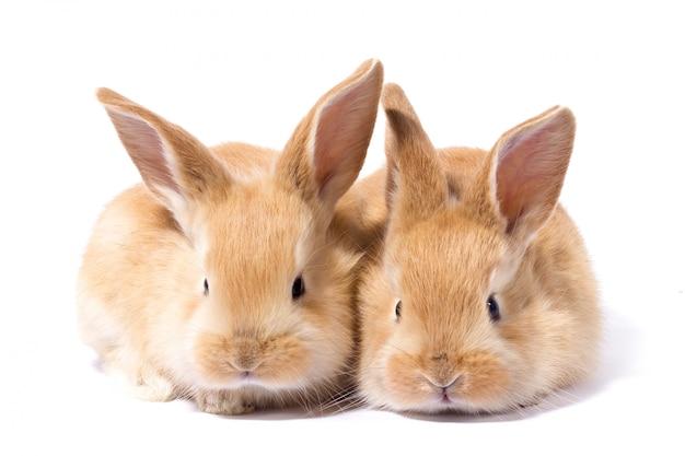 Deux petits lapin rouge moelleux, isoler, lapin de pâques