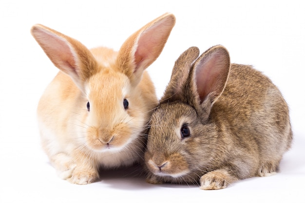 Deux petits lapin rouge moelleux