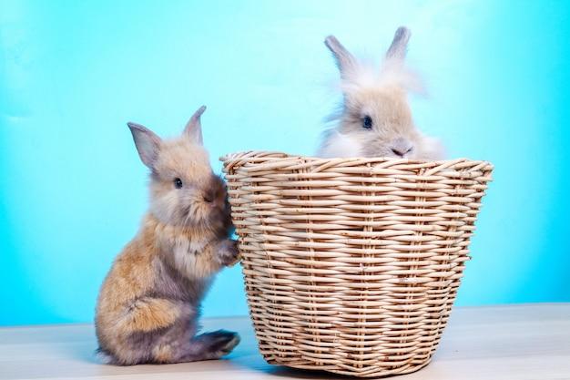 Deux petits lapins à fourrure brune tournés dans un studio à fond bleu clair