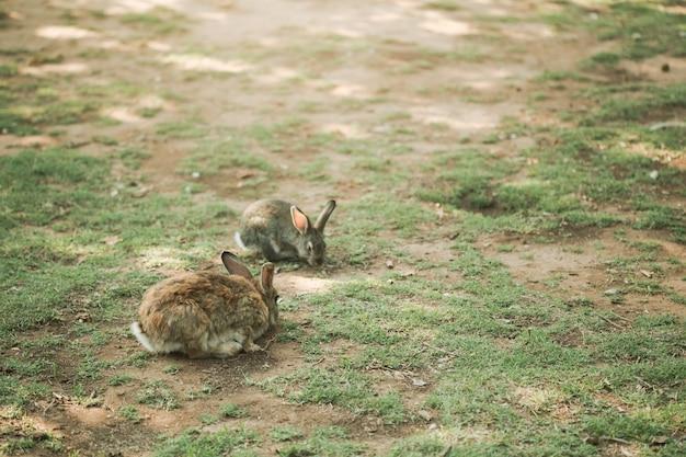 Deux petits lapins marchant sur le pré mange de l'herbe