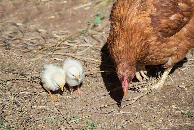 Deux petits poulets à côté de maman une poule rouge