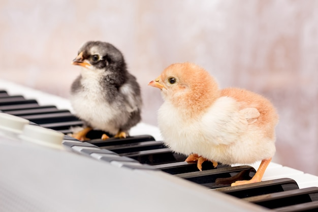 Deux petits poussins sur les touches du piano. les premiers pas en musique. apprendre dans une école de musique. concert de jeunes interprètes