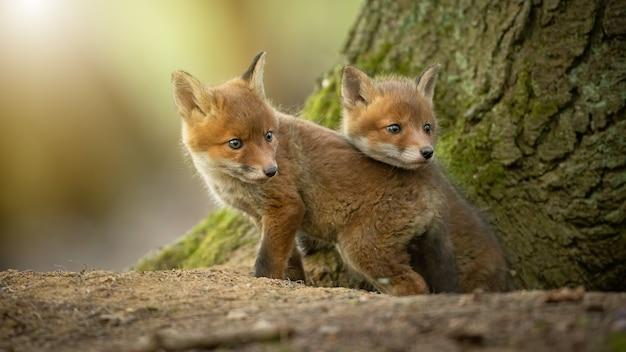 Deux petits renardeaux roux se câlinant à côté d'un arbre au soleil