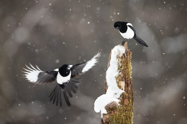 Deux pies eurasiennes atterrissant sur une souche pendant une tempête de neige