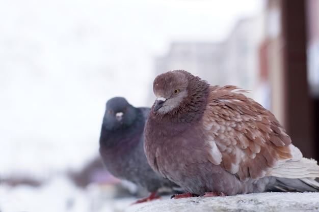 Deux pigeons ébouriffés en hiver dans la rue