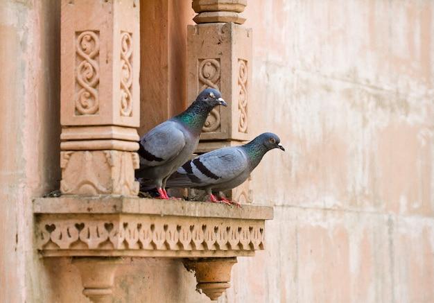 Deux pigeons gris