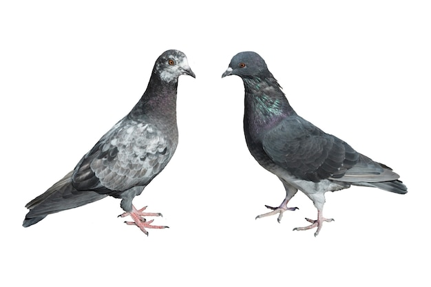 Deux pigeons isolés sur fond blanc