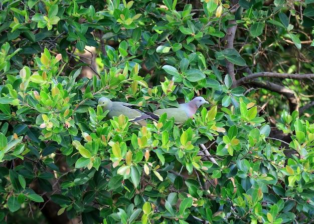 Deux pigeons verts à bec épais cueillant des fruits sur un grand arbre, bangkok urban, thaïlande