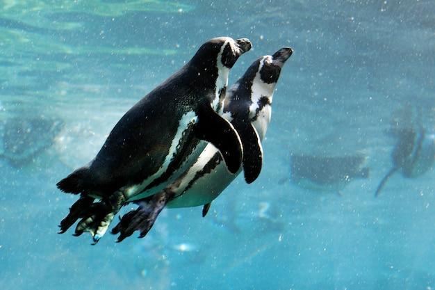 Deux pingouins nageant dans l'eau en hiver
