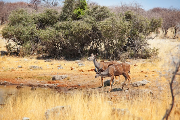 Deux plus grandes antilopes koudou (tragelaphus strepsiceros) dans le parc national d'etosha, namibie, afrique.