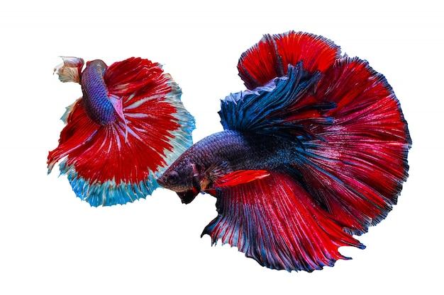 Deux poissons betta colorés se poursuivant sur un fond blanc