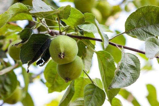 Deux pommes vertes poussant sur l'arbre