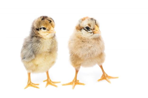 Deux poules sur fond blanc