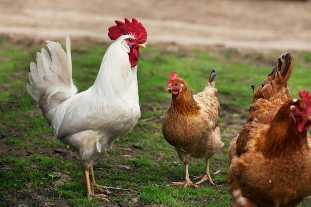 Deux poulets et un coq marchant dans l'herbe