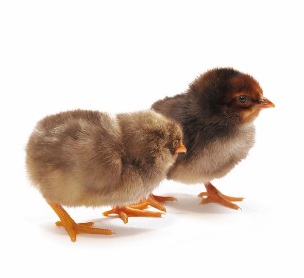Deux poulets noirs