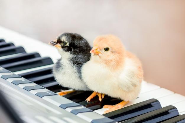 Deux poussins sur les touches du piano. leçons de musique. jouer une comédie musicale jouer un duo
