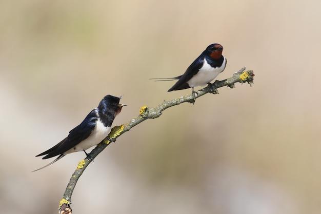Deux querelle d'hirondelle rustique sur une branche