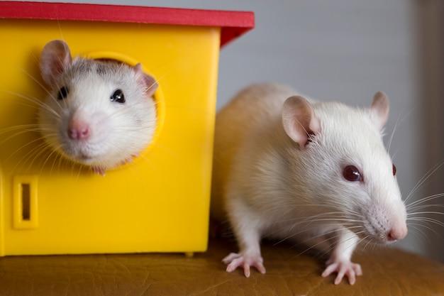 Deux rats animaux domestiques drôles et une maison de jouet.