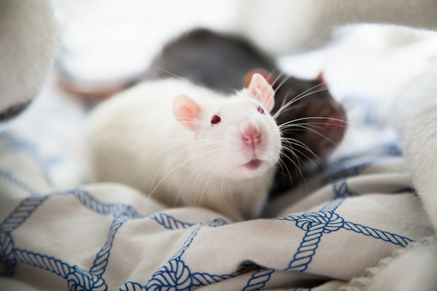 Deux rats de compagnie
