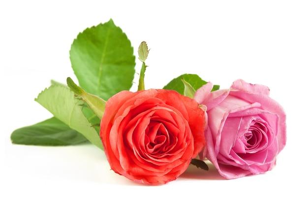 Deux roses rouges et roses sur fond blanc