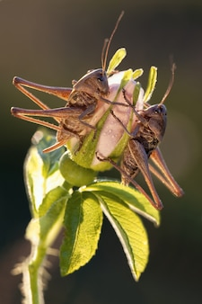 Deux sauterelles sont assises sur la fleur en fleurs dans la lumière du soir sur fond marron foncé