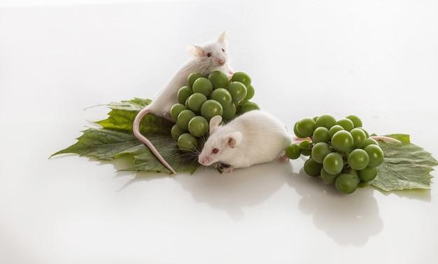 Deux souris blanches avec des grappes de raisins verts sur fond blanc