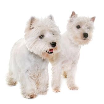 Deux terrier blanc ouest highland