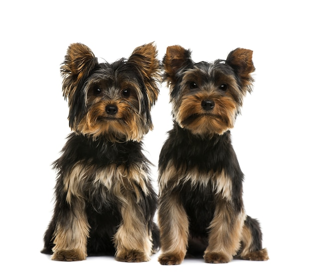 Deux terriers du yorkshire devant un mur blanc