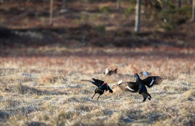 Deux tétras lyre se battre à lek avec un tétras noir doux, au lever du soleil au printemps, avril, en norvège