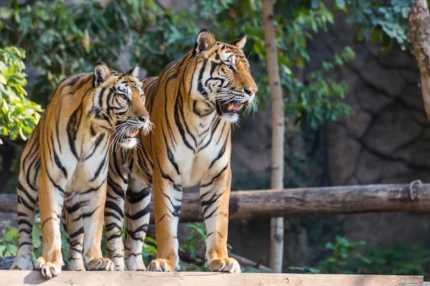 Deux tigres royaux de bengale debout et regardent vers