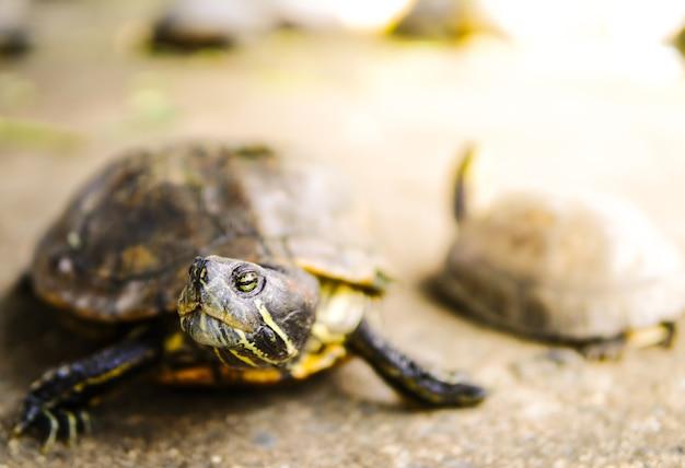 Deux tortues asiatiques